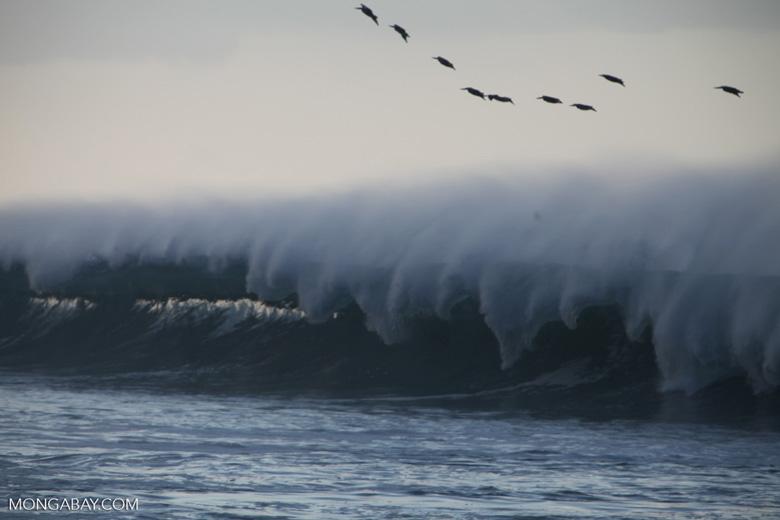 Brown Pelicans (Pelecanus occidentalis) in flight over crashing surf [costa-rica_1427]