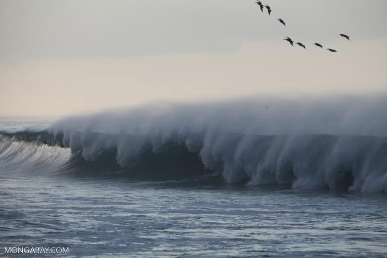 Brown Pelicans (Pelecanus occidentalis) in flight over crashing surf [costa-rica_1428]