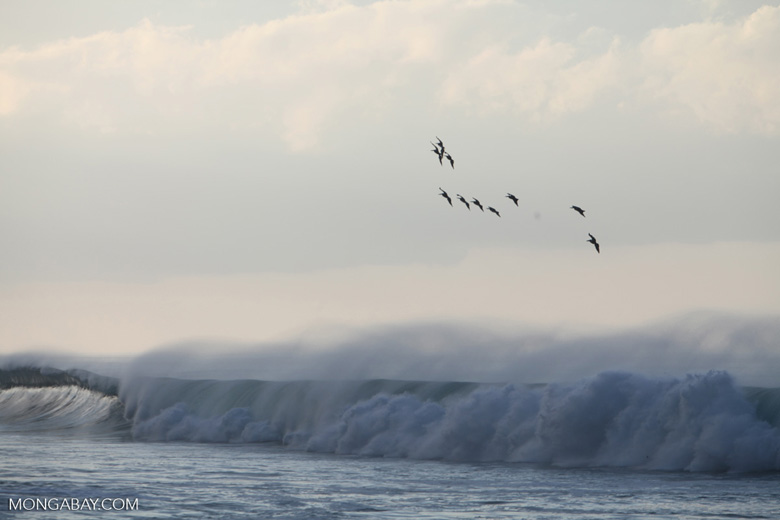 Brown Pelicans (Pelecanus occidentalis) in flight over crashing surf [costa-rica_1430]