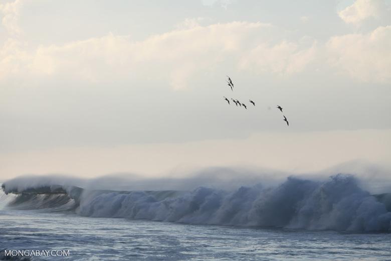 Brown Pelicans (Pelecanus occidentalis) in flight over crashing surf [costa-rica_1431]