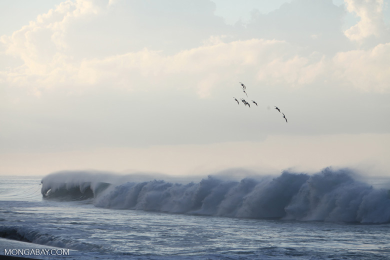 Brown Pelicans (Pelecanus occidentalis) in flight over crashing surf [costa-rica_1432]