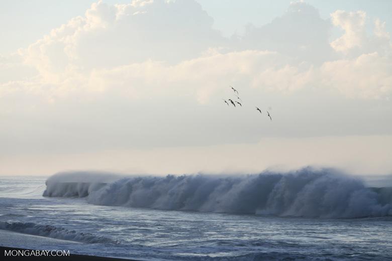Brown Pelicans (Pelecanus occidentalis) in flight over crashing surf [costa-rica_1433]