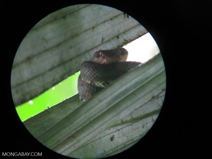 Eyelash viper [costa-rica_a_0060]