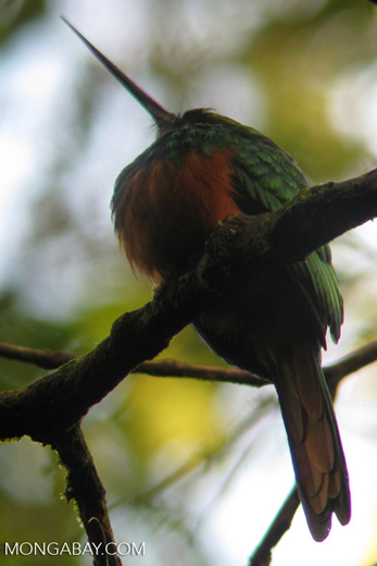 Rufous-tailed Jacamar (Galbula ruficauda) [costa-rica_a_0065]