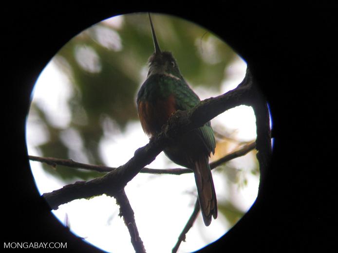 Rufous-tailed Jacamar (Galbula ruficauda) [costa-rica_a_0066]
