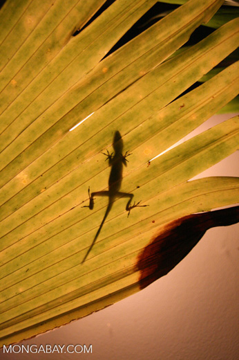 Shadow of an anole lizard through a leaf