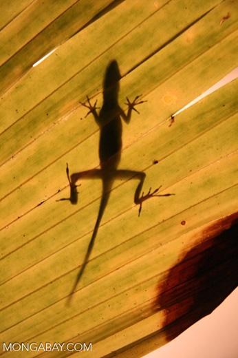 Anole lizard seen through a sun-lit leaf