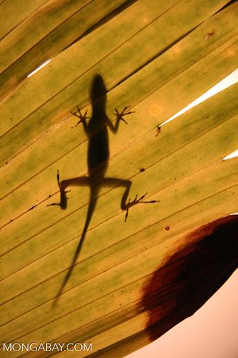 Lizard seen from the underside of a leaf