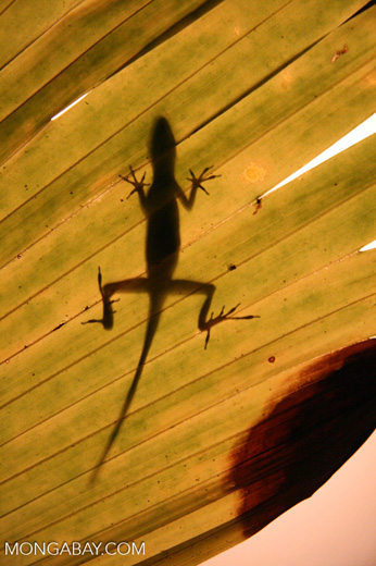 Anole lizard silhouette against a sun-lit leaf