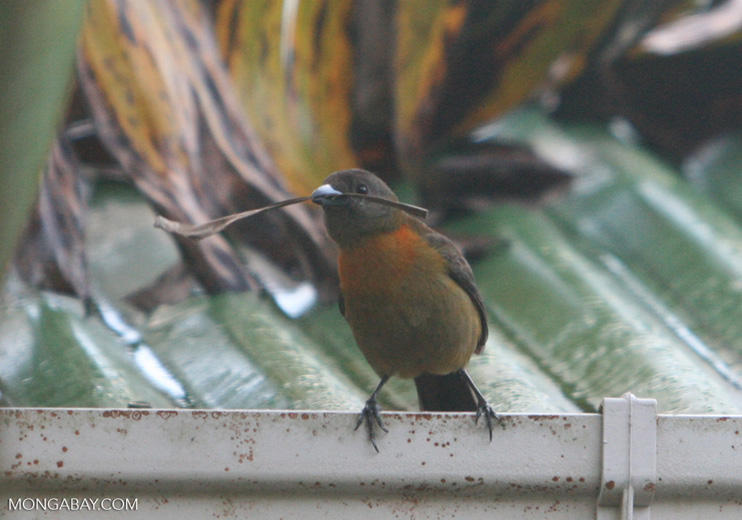 Passerini's Tanager (Yellow and chestnut breasted bird with dark gray wings)