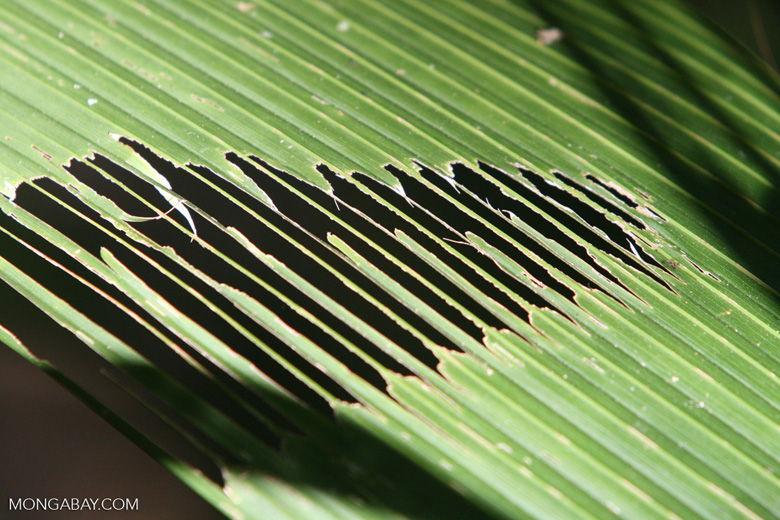 Insect damage on a palm frond