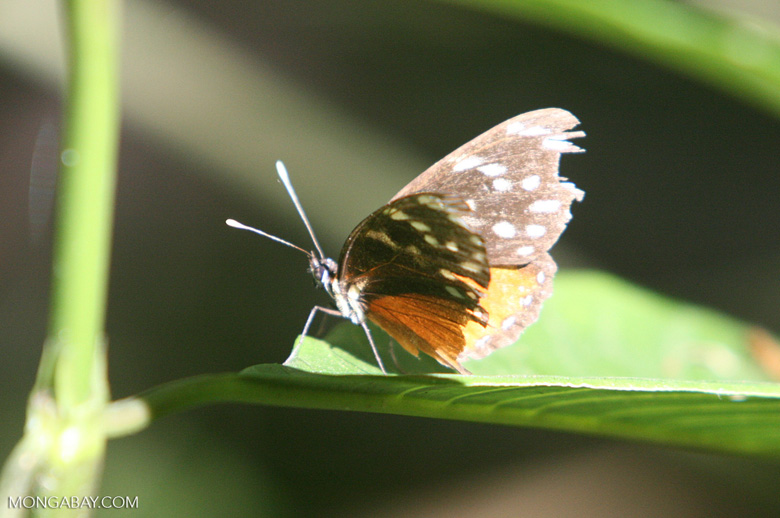 Dark brown and orange butterfly with blue spots