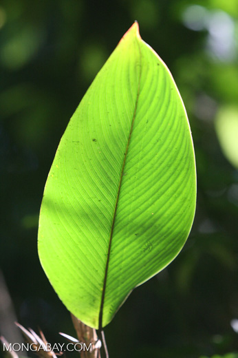 Heliconia leaves in the Costa Rican jungle