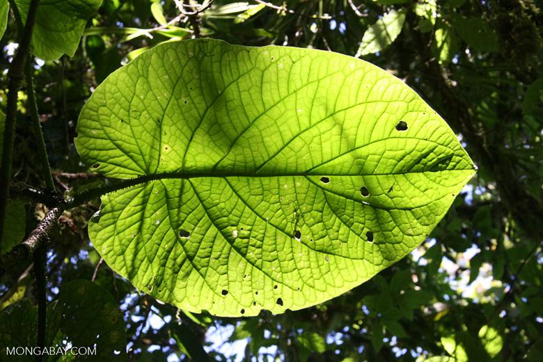 Leaf in the Costa Rican jungle