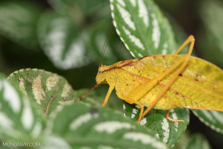 Yellow leaf-shaped katydid [costa_rica_4507]