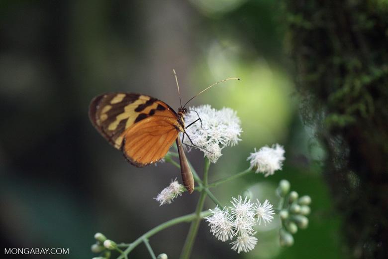 Isabella's Tiger (Eueides isabella)