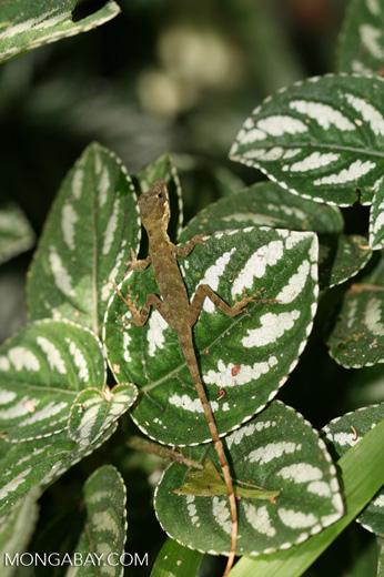 Brownish-green anole [costa_rica_4568]