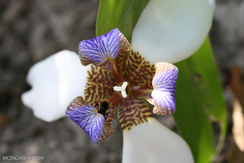 Walking Iris (Neomarica gracilis) [costa_rica_4581]
