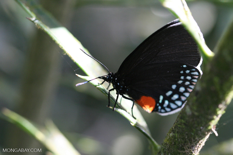 Godart's Cycadian (Eumaeus godartii), a black butterfly with a white fringe, an orange patch, and turquoise spots