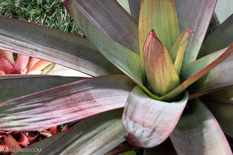 Bromeliad [costa_rica_4622]
