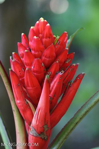 Red bromeliad flower