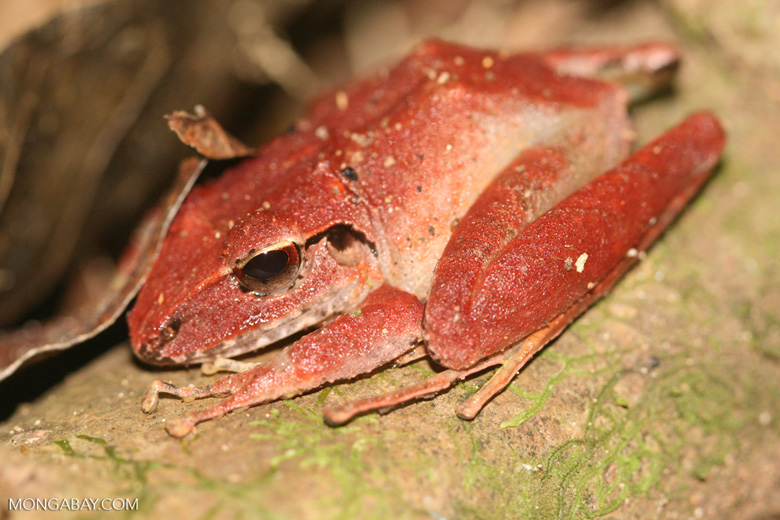 Red frog [costa_rica_4656]