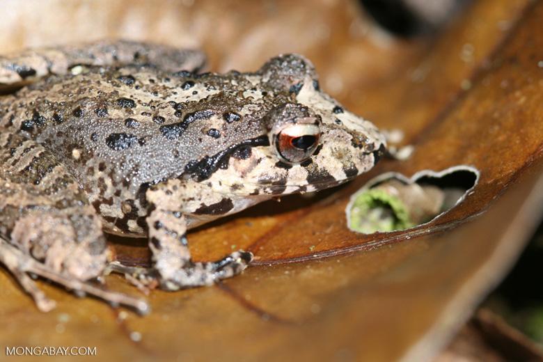 Mottled forest frog [costa_rica_4678]
