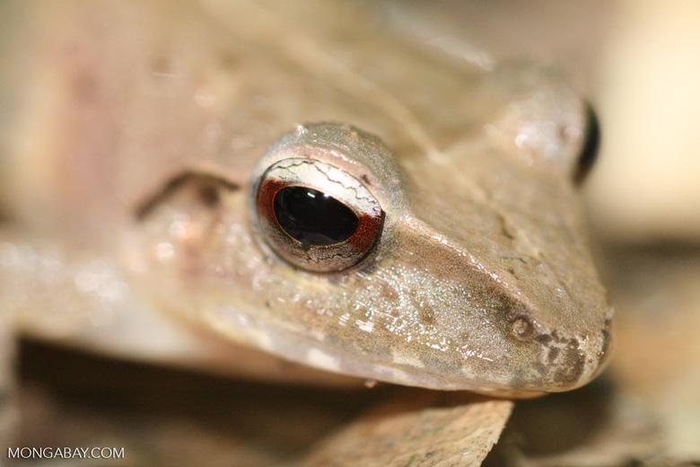 Leaf frog [costa_rica_4689]