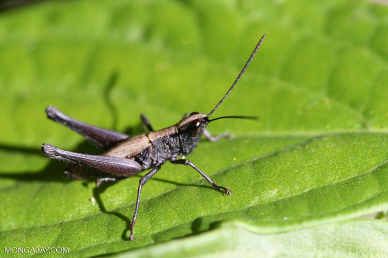 Black, beige, and brown grasshopper