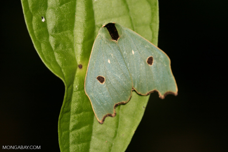Green moth with a black body