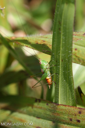 Green grasshopper with an orange abdomen