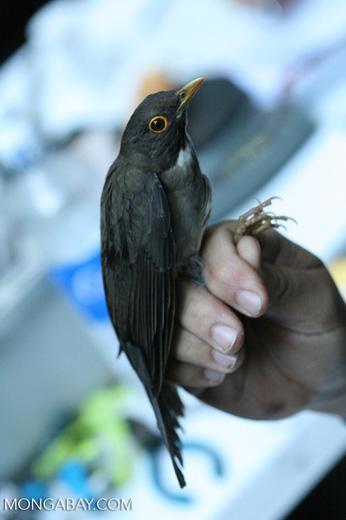 Bird captured for study [costa_rica_4859]