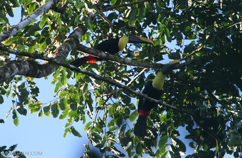 Chestnut-mandibled Toucan (Ramphastos swainsonii) [costa_rica_4926]