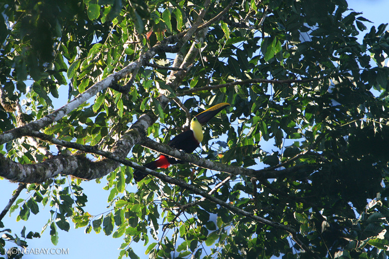 Chestnut-mandibled Toucan (Ramphastos swainsonii) [costa_rica_4937]