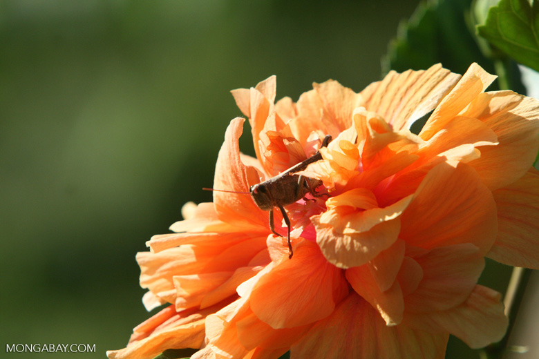 Brown grasshopper in an orange flower
