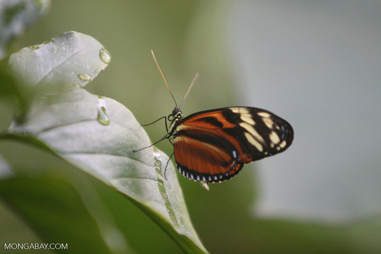 Isabella's Heliconian (Eueides isabella)