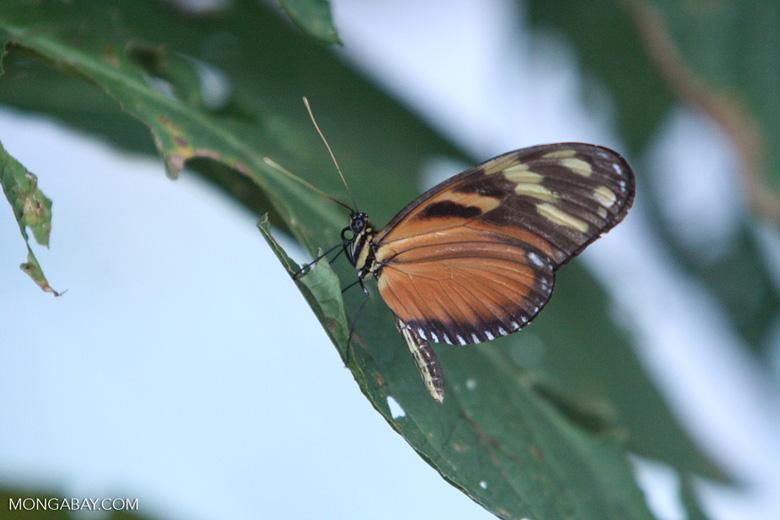 Isabella's Tiger (Eueides isabella) in the Costa Rican rainforest