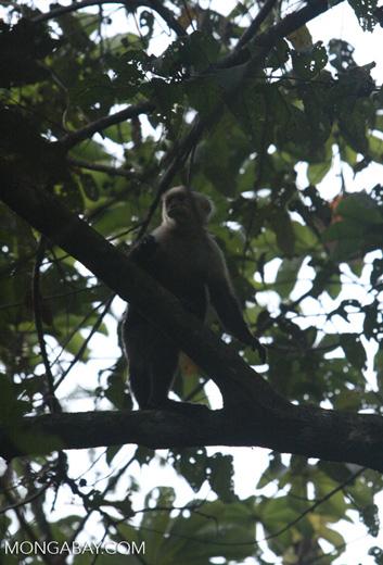 White-throated Capuchin (Cebus capucinus)