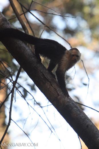 White-faced Capuchin (Cebus capucinus) [costa_rica_5055]