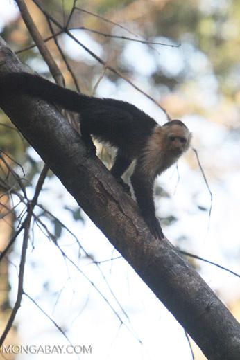 White-faced Capuchin (Cebus capucinus) [costa_rica_5056]