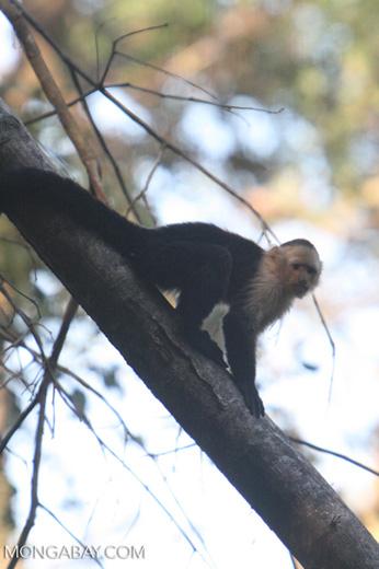 White-faced Capuchin (Cebus capucinus) [costa_rica_5058]