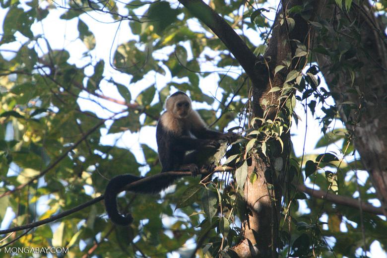 White-faced Capuchin (Cebus capucinus) [costa_rica_5069]