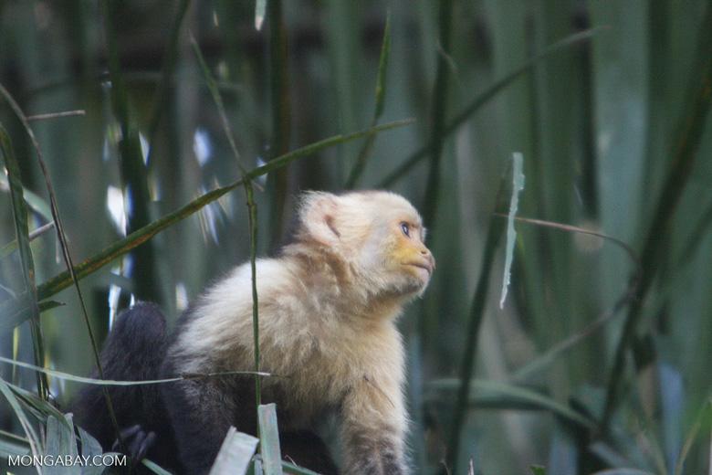 White-faced Capuchin (Cebus capucinus) [costa_rica_5097]