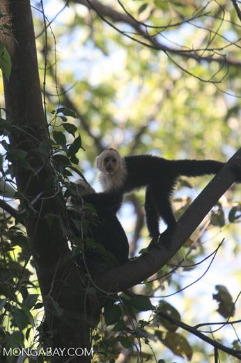 White-faced Capuchin (Cebus capucinus) monkeys