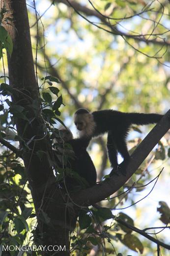 White-faced Capuchin (Cebus capucinus) [costa_rica_5100]