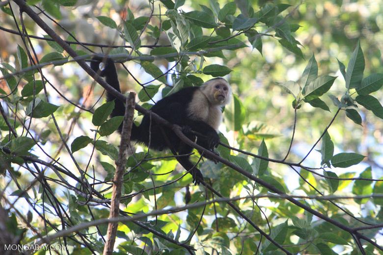 White-faced Capuchin (Cebus capucinus) [costa_rica_5109]