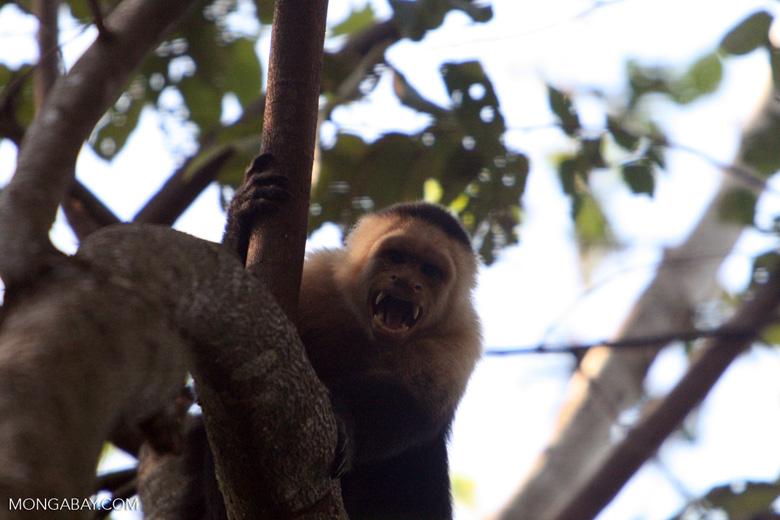 White-faced Capuchin baring its teeth