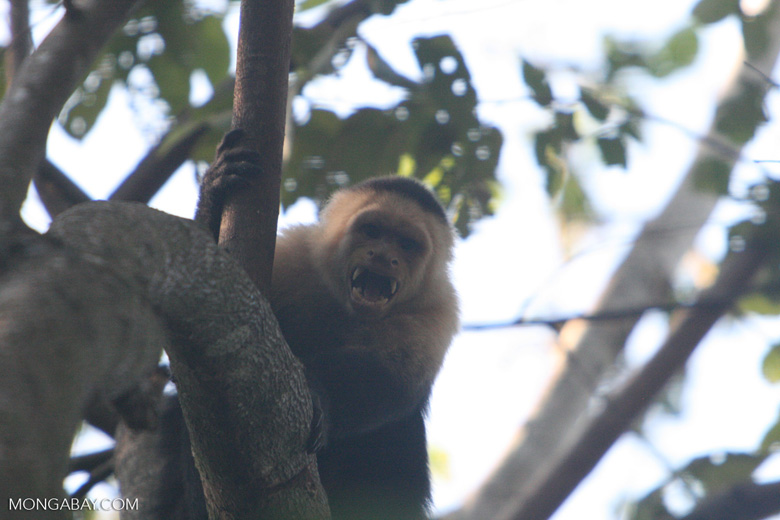 White-faced Capuchin baring its fangs [costa_rica_5130]