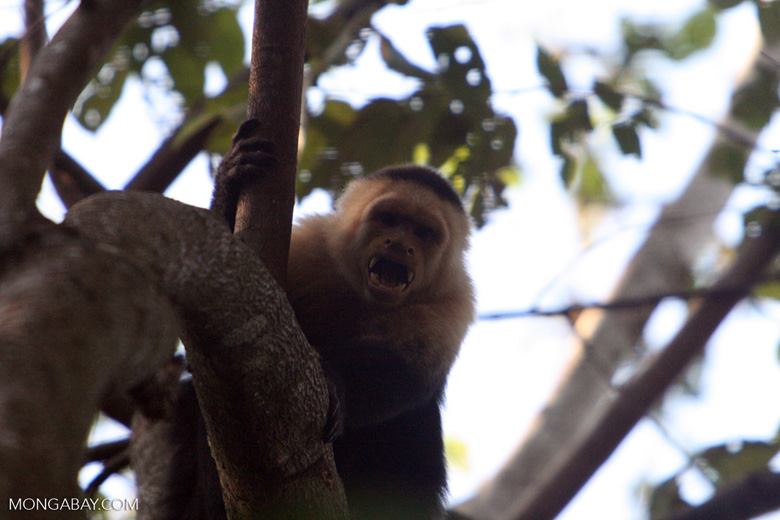 White-faced Capuchin baring its fangs [costa_rica_5131]