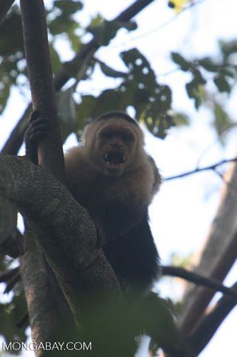 White-faced Capuchin baring its fangs [costa_rica_5137]